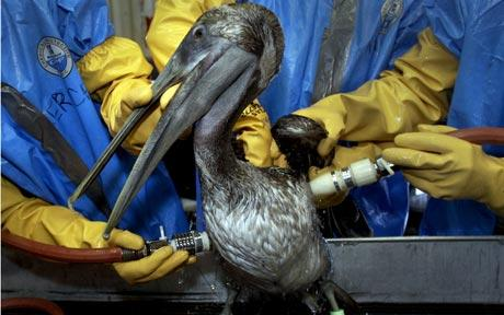 Oil Coated Pelican