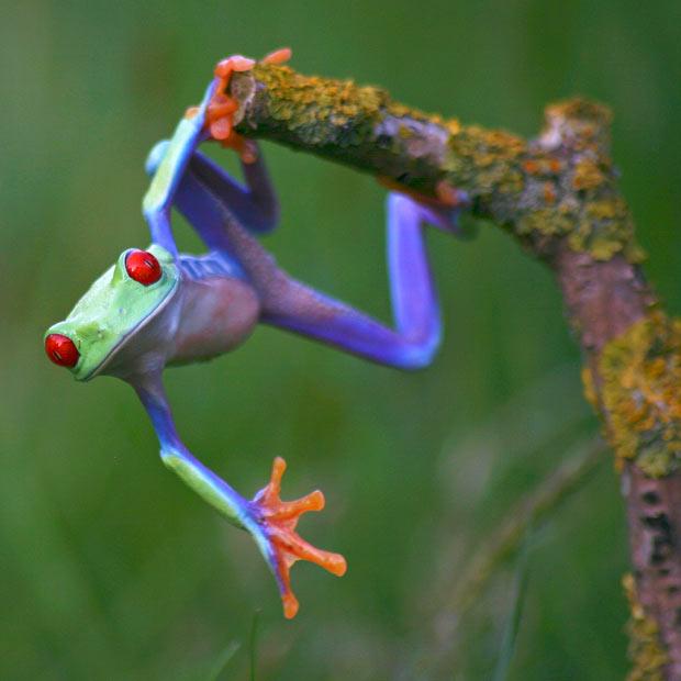 Multicoloured-Frog21