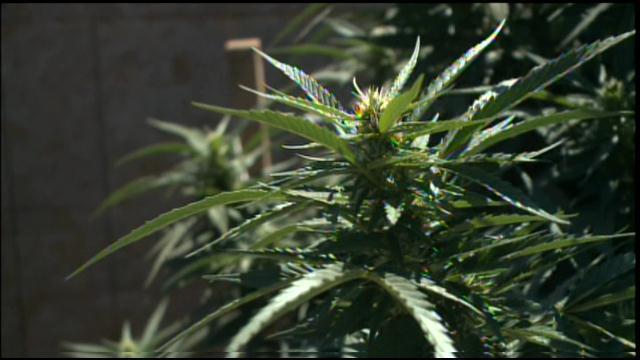 marijuana (1)