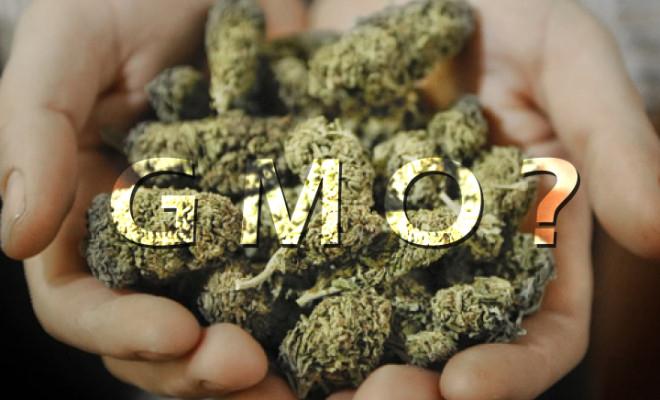cannabis-ogm